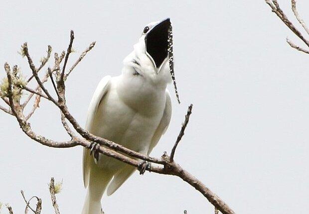 پرنده آمازونی رکورد بلندترین صدا را شکست