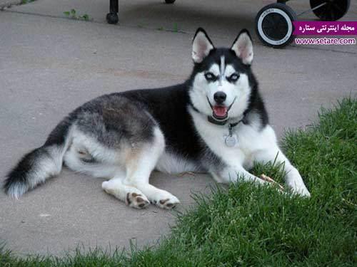 مجموعه عکس سگ هاسکی و معرفی این نژاد سگ