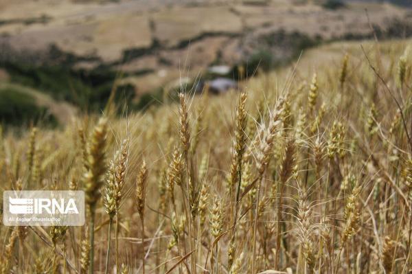 خبرنگاران 24 هزار تن گندم درقم فراوری خواهد شد